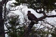 Caracara en el parque de Torres del Pain Imagen de archivo