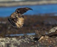 Caracara en Falkland Islands en vuelo Imágenes de archivo libres de regalías