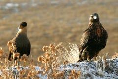 Caracara et aigle Images stock
