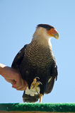 Caracara falconer Stock Photo