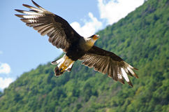 Caracara in flight performance Royalty Free Stock Images
