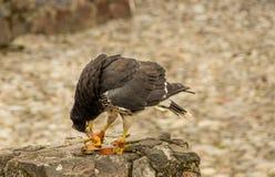 Caracara giovanile della montagna, megalopterus di Phalcoboenus al parco del condor in Otavalo Fotografia Stock