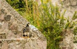 Caracara giovanile della montagna, megalopterus di Phalcoboenus al parco del condor in Otavalo Immagine Stock Libera da Diritti