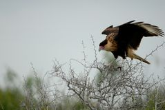 Northern crested caracara. A caracara landing in an uncomfortable thorny tree Stock Images
