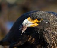 Caracara med fisken på Falkland Islands Fotografering för Bildbyråer
