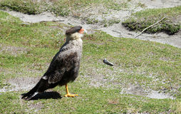 Caracara plancus bird on the grass Royalty Free Stock Photo
