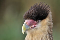 Caracara Royalty Free Stock Photo