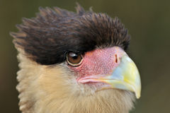 Caracara Stock Photo
