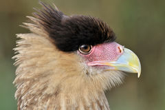 Caracara Royalty Free Stock Image