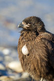 Caracara shows exposed food sack meaning he is full Royalty Free Stock Photos
