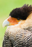 Caracara in side angle view Royalty Free Stock Images
