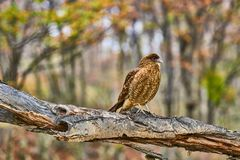 Caracara sitting on a tree in the Tierra del Fuego National Park. Argentine Patagonia in Autumn.  Royalty Free Stock Photography