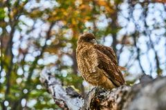 Caracara sitting on a tree in the Tierra del Fuego National Park. Argentine Patagonia in Autumn.  Stock Images