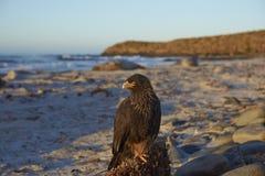Caracara strié dans Falkland Islands Images libres de droits