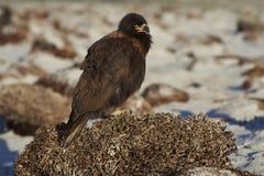 Caracara strié sur la plage Image stock
