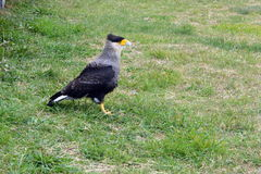 Caracara in Torres del Pain park Stock Photography