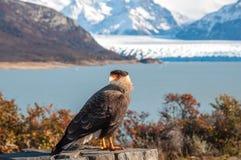 Caracaravogel het stellen voor Perito Moreno Glacier, Argentin Royalty-vrije Stock Foto's