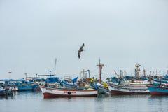 CARACAS PERU - APRIL 15, 2013: Aftonstolpe i Caracas, Peru Flygpelikan som är klar att dyka in i vatten Royaltyfri Fotografi