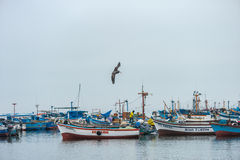 CARACAS, PERU - APRIL 15, 2013: Evening post in Caracas, Peru. Flying pelican ready to dive into water Royalty Free Stock Photography