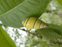 Caracol amarillo foto de archivo libre de regalías