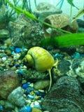 Caracol amarillo 7 del acuario imagen de archivo