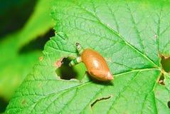 Caracol Antara afectado por el parásito Leucochloridium paradójico Imágenes de archivo libres de regalías