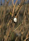 Caracol blanco que se sienta en la hierba Imagen de archivo libre de regalías