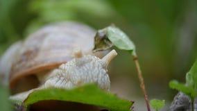 Caracol branco em uma folha verde da grama vídeos de arquivo