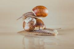 Caracol, brilhante, shell, pegajoso Fotos de Stock Royalty Free