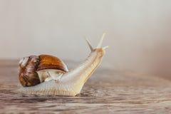 Caracol, brilhante, shell, pegajoso Foto de Stock Royalty Free