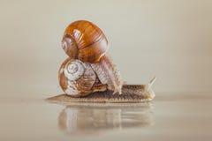 Caracol, brilhante, shell, pegajoso Foto de Stock