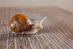 Caracol, brilhante, shell, pegajoso Fotos de Stock
