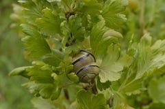 Caracol com um shell espiral Fotos de Stock Royalty Free