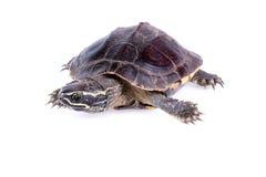 Caracol-comendo a tartaruga Imagem de Stock