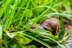 Caracol comestível, caracol romano, caracol de Borgonha, escargot na grama verde o jardim fotos de stock royalty free
