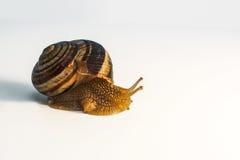Caracol con el molusco Fotografía de archivo