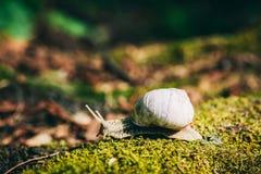 Caracol con la cáscara blanca que se arrastra en el musgo del bosque Foto de archivo