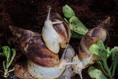 caracol de Achatina del gigante Salud y rejuvenecimiento de la piel Imagenes de archivo