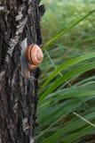 Caracol de Brown fora de sua casa que rasteja em um tronco de árvore Fotografia de Stock