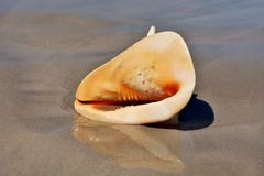 Caracol de cuernos del casco Fotografía de archivo libre de regalías