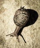 Caracol de jardín común que se arrastra abajo de roca de la piedra arenisca imagen de archivo