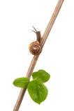 Caracol de jardim em um ramo, isolado no branco Fotografia de Stock Royalty Free