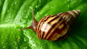 Caracol de la cáscara de la raya de Brown que se mueve lentamente en la hoja verde vibrante con las gotitas de agua después de la almacen de video