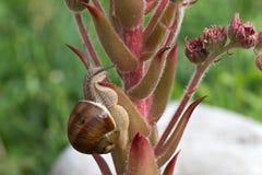 Caracol de la uva Foto de archivo