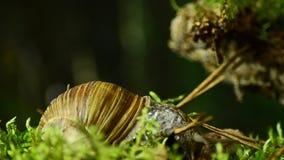 Caracol Caracol de la uva en el hábitat natural 39 almacen de metraje de vídeo