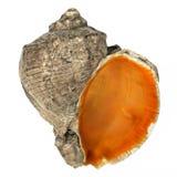 Caracol de mar com laranja para dentro Imagem de Stock Royalty Free