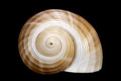 Caracol de mar de Brown no fundo preto Imagens de Stock Royalty Free