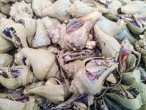 Caracol de mar de la concha Imagen de archivo libre de regalías