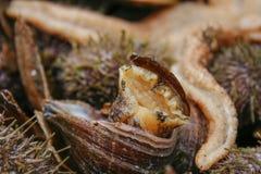 Caracol de mar en cáscara Fotografía de archivo