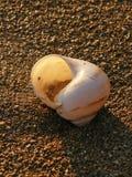 Caracol de mar na praia 2 Fotografia de Stock Royalty Free